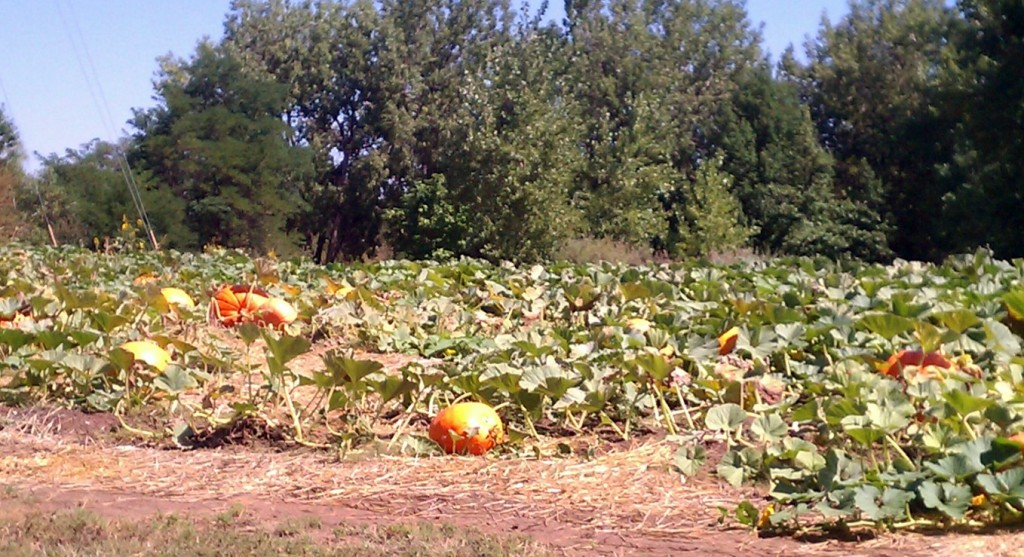 Hudson Garden's pumpkin patch