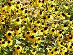 hudson gardens coneflowers